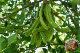 Siprus tanam ribuan pohon carob untuk memproduksi 'emas hitam'