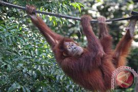Populasi Orangutan Sumatera Kawasan Ekosistem Leuser tersisa 13.000