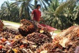 Di Jambi, harga CPO  naik Rp164 per kilogram