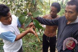 FKH Balangan Identifikasi Tanaman Hutan Berpotensi Obat