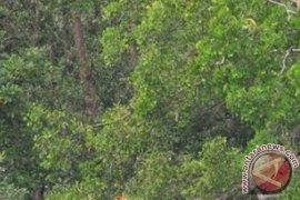 Tanah Laut home to 500 proboscis monkeys