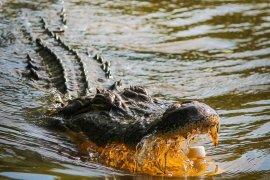 Singkawang Mayor search for the crocodile handler