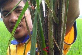 Tanaman padi di Aceh Utara digerogoti wereng