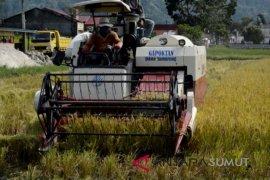 Panen padi darat organik di lahan tanpa bakar