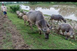 Lebak Dorong Populasi Ternak Kerbau Meningkat