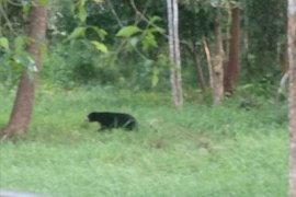 Saat berkebun, warga OKU tewas diserang beruang madu
