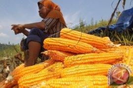 Produksi jagung Langkat 169.170 ton