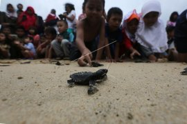 Warga Aceh Jaya selamatkan 117 telur penyu belimbing