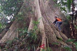 FKH Balangan Temukan Pohon Besar
