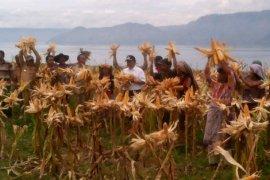 Kelompok tani Martabe Samosir panen raya