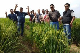 Produksi benih padi Kalbar perlu ditingkatkan