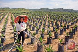 Solok Selatan remajakan 98 hektare sawit rakyat