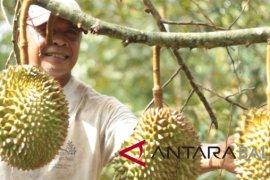 'RSF' adakan 'Festival Makan Durian' di Tajun-Buleleng