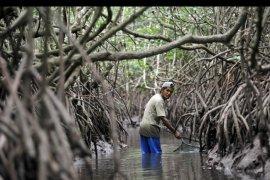 Tangerang Menanam Mangrove Langka Cegah Abrasi