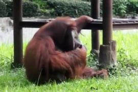 Kebun Binatang Bandung tanggapi video orang utan merokok