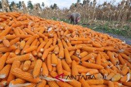 Produksi jagung ditarget 1.846.956 ton