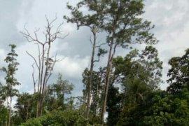 Polres Sintang amankan tiga pria pemilik kayu ilegal