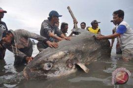 Ikan mola-mola mati terdampar