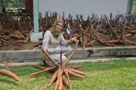 Ini dua varietas baru ubi kayu dari Balitbangtan untuk tingkatkan produktivitas pangan