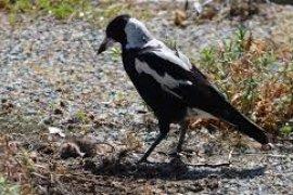 Burung di Australia terserang penyakit misterius