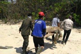 21 turtles died in Paloh
