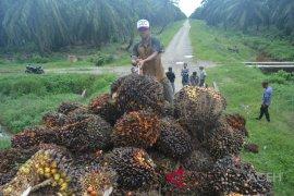 Produktivitas sawit menurun akibat jatuhnya harga di Aceh