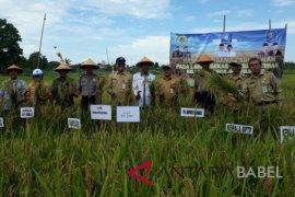Pemkab Bangka lakukan panen raya padi di eks tambang