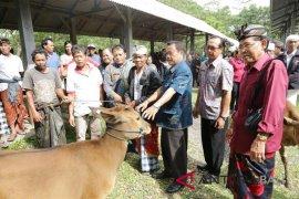 Pemkab Gianyar gelontorkan bantuan 70 ekor sapi