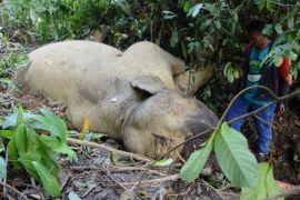 Olo mati mendadak, sehari setelah peringatan Hari Gajah sedunia
