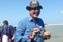 PT Timah-Ikebana Bangka lepas 500 indukan kepiting bakau