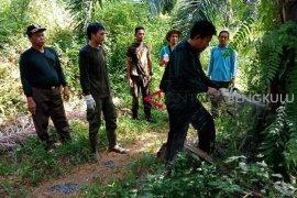 KPH Mukomuko lanjutkan pemusnahan sawit dalam hutan