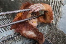 WWF-KPH komitmen wujudkan perlindungan koridor habitat orangutan