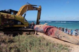 Nelayan Sabu gelar ritual penguburan paus sperma