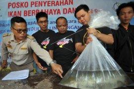 Warga Jambi serahkan ikan aligator ke BKIPM