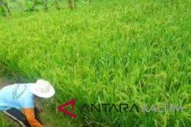 Puluhan hektare sawah Penajam diserang hama tikus