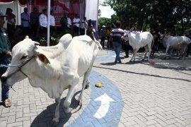 Pemkab Mukomuko larang potong sapi betina produktif