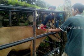 Penyembelihan hewan kurban di Rejang Lebong mencapai 1.911 ekor