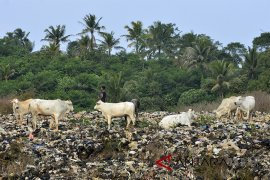 Peternakan sapi di TPA
