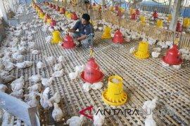 Daging ayam di batulicin tembus rp60.000/ekor