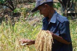 Kemarau panjang luas tanam padi meningkat