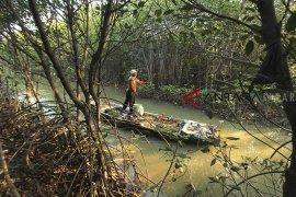 Kerusakan hutan Mangrove Pabean