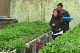 """Sayur hidroponik dari Buleleng rambah restoran-hotel """"Nusa Dua"""""""