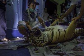 Dua anak harimau gagal lahir karena induk mati terjerat