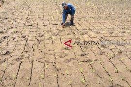Ratusan hektare sawah Rejang Lebong terancam kekeringan