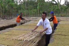 Petani Tembakau Ngawi Diuntungkan Kemarau Panjang