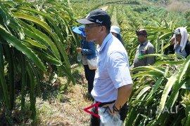 Buleleng jajaki ekspor buah naga ke Tiongkok