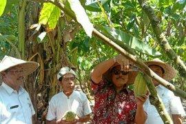 BI perkuat daya saing ekspor kakao Jembrana