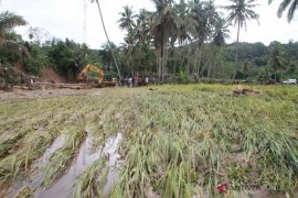 Dampak banjir Madina, ribuan hektar padi puso