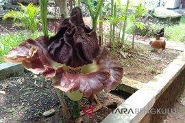 Peneliti Bengkulu budidayakan dua spesies bunga bangkai
