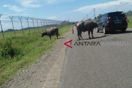 Hati-hati! kerbau masih berkeliaran di Bandara Mukomuko